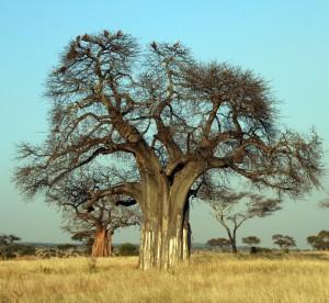 Affenbrotbaum (botanisch Baobab) Copyright yoki / wikimedia